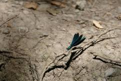 dragonfly-vilinski konjici